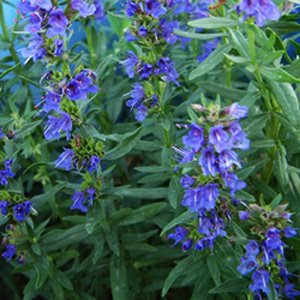 growing-hyssop-Hyssopus-Officinalis